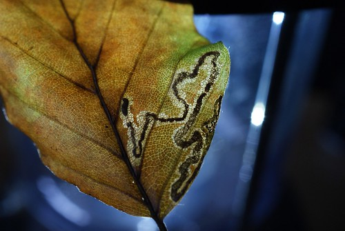 Stigmella hemargyrella leaf mine on Fagus