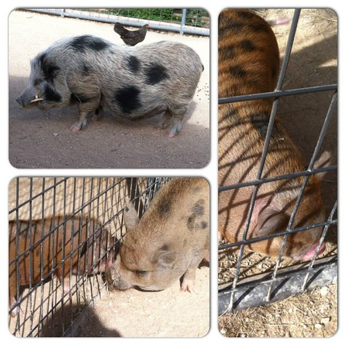 The pigs at the petting zoo. #instacollage #pigs #pig #piglet #pigstagram