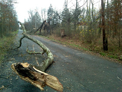 A tree blown down by the storm falls on electrical power lines at the refuge.