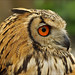 Portrait Indian Eagle-Owl