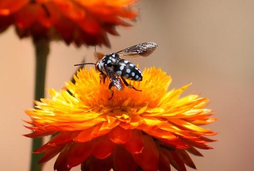 Blue spotted cuckoo bee - Thyreus sp.