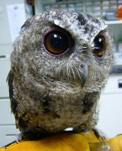 領角鴞「桿弟」是野生動物急救站的觀光大使,紅色圓圓大眼是特色