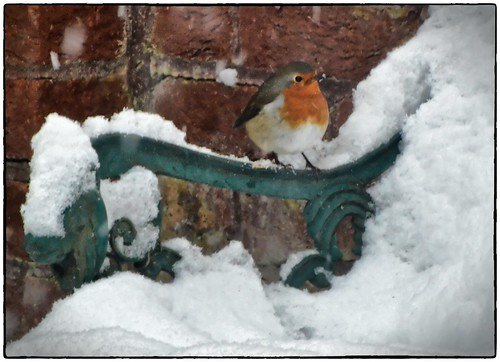 statutory robin in #uksnow picture