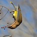Cedar Waxwing Out on a Limb by steven_and_haley_bach