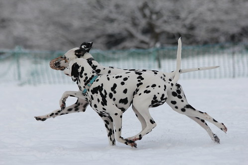 Dalmatians in the snow