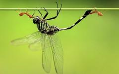 potd-damsel-fly_2458487k