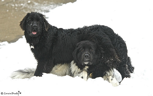 Mabel (Black & 7 months old) & Chester (Landseer - 2&half years old) - Who's baby sitting who ?