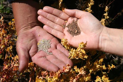 Quinoa varieties, Peru