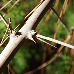 Garden Inventory: Ming Fern Asaparagus (Asparagaus retrofractus) - 4
