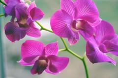 orchid den tanida 019