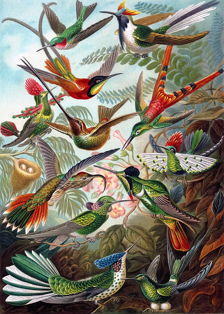 Ernst-Haeckel-Hummingbirds-1904