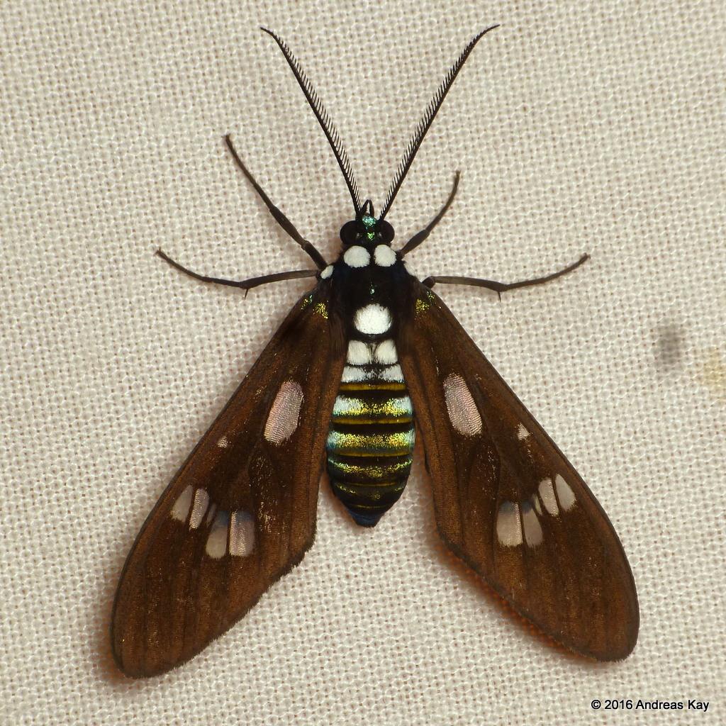 Tiger moth, Phaeo acquiguttata?