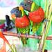Lori Birds Vanuatu