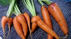 Leggy Carrots
