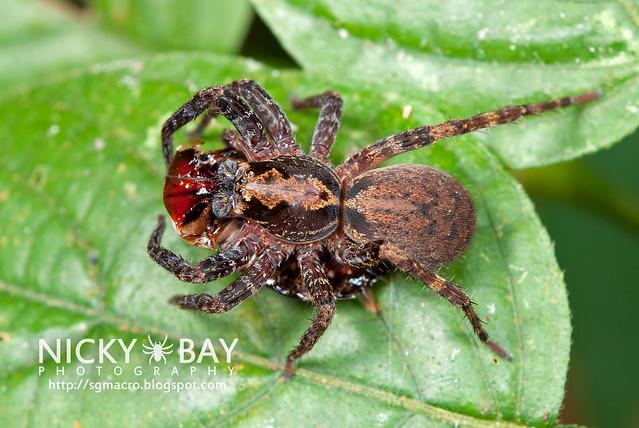 Wandering Spider (Ctenidae) - DSC_8872