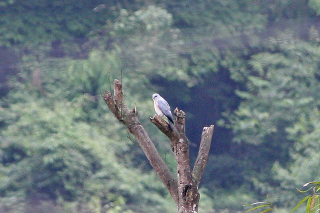 Header of accipiter soloensis