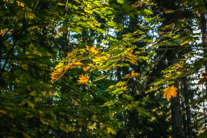 the light of the autumn Листики прорисовались, а! DSC_0916