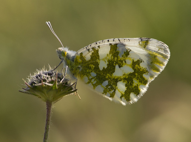 Eastern dappled white butterfly backlit