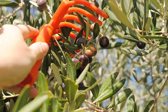 olive picking 3