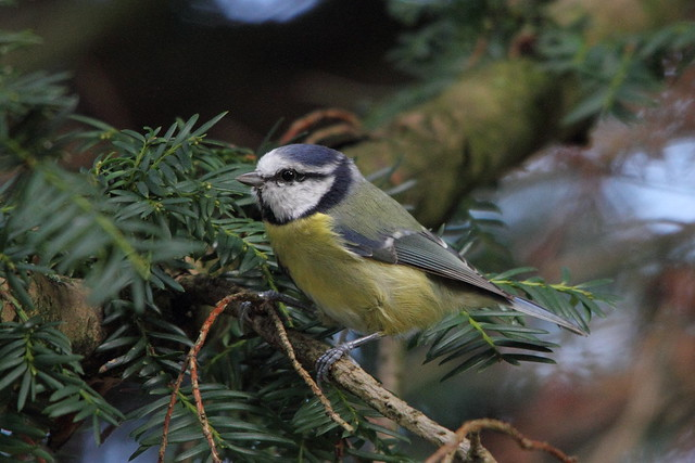 Bluetit, Robert's Park