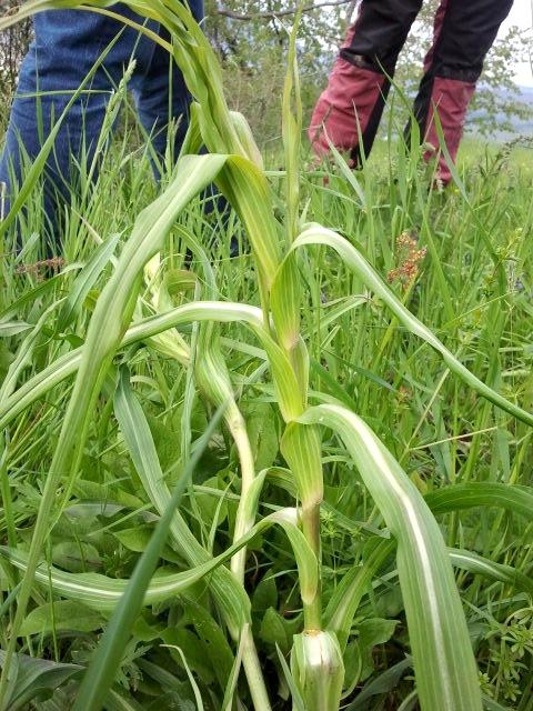 Meadow Salsify -livadska kozja brada - Tragopogon pratensis