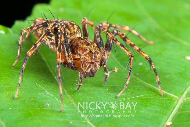 Lynx Spider (Oxyopidae) - DSC_4168
