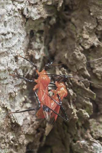 a mating pair of red assassin bug IMG_9464 copy