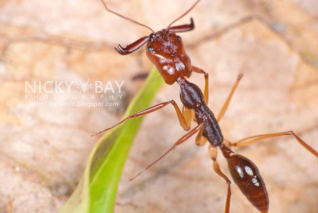 Trap Jaw Ant (Odontomachus sp.) - DSC_3194
