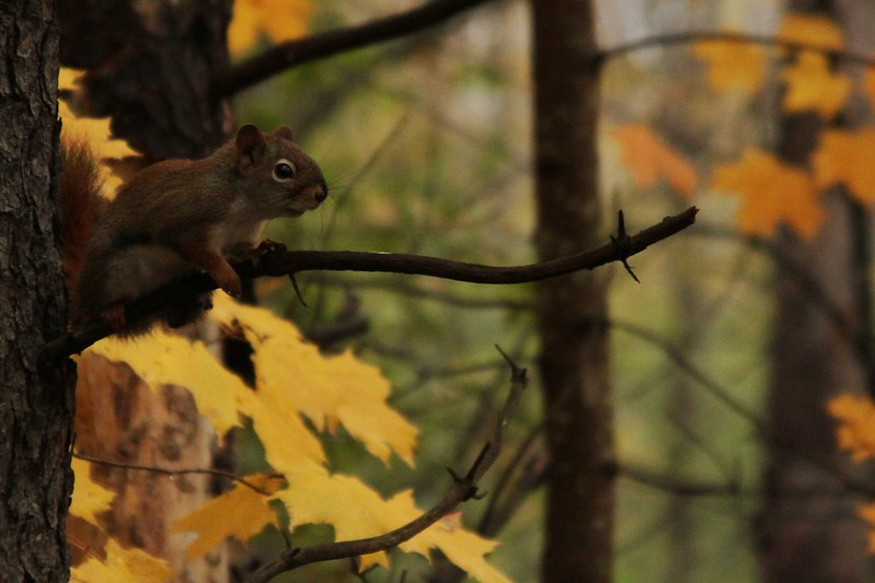 Red Squirrel - Yellow Maple
