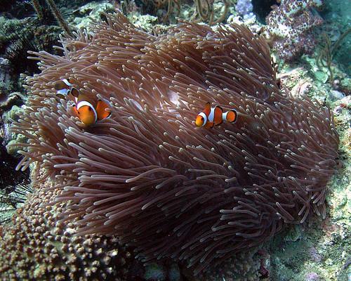 Clownfish and Anemone, Shark Point, Phuket, Thailand
