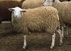 Woolly ewe lamb