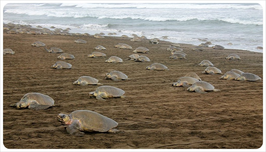 The one million turtle march an arribada in costa rica for Black sand beaches costa rica