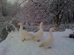 3geese_snow