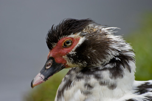 Cairina moschata (Muscovy Duck/Pato real)