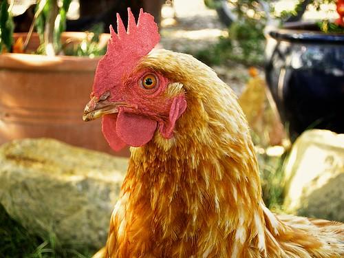 Bob's Chicken