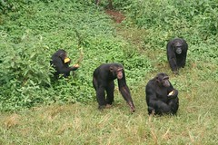 Uganda conservationists are concerned that increasing numbers of people have begun eating primate meat. Credit: Samson Baranga/IPS