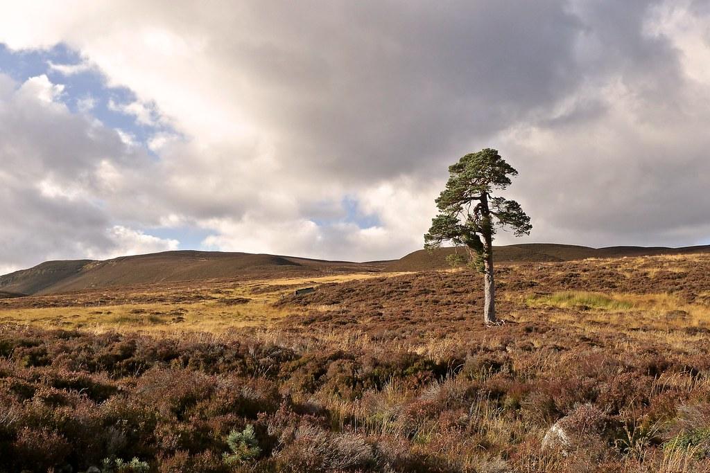 Pine in Glen Quoich