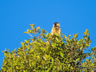 Capuchin at the top of the tree