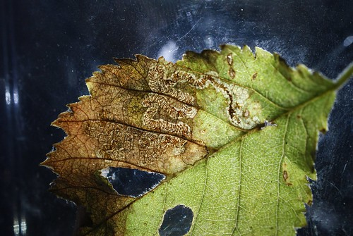 Stigmella lemniscella leaf mine on Ulmus