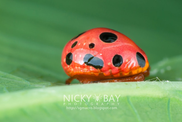 The Beauty of Ladybird Mimicry