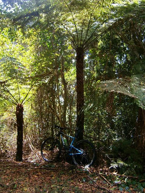 Tree Fern - Main Range National Park