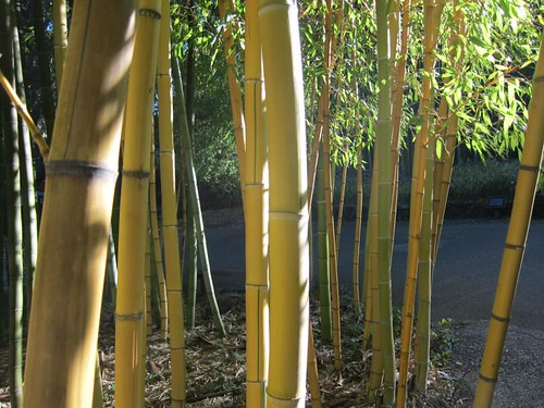 Hakone Japanese Gardens, Saratoga, CA, bamboo IMG_2480