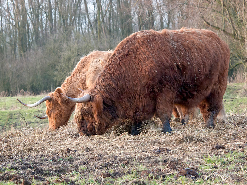 Highland cattle Synchronized Eating