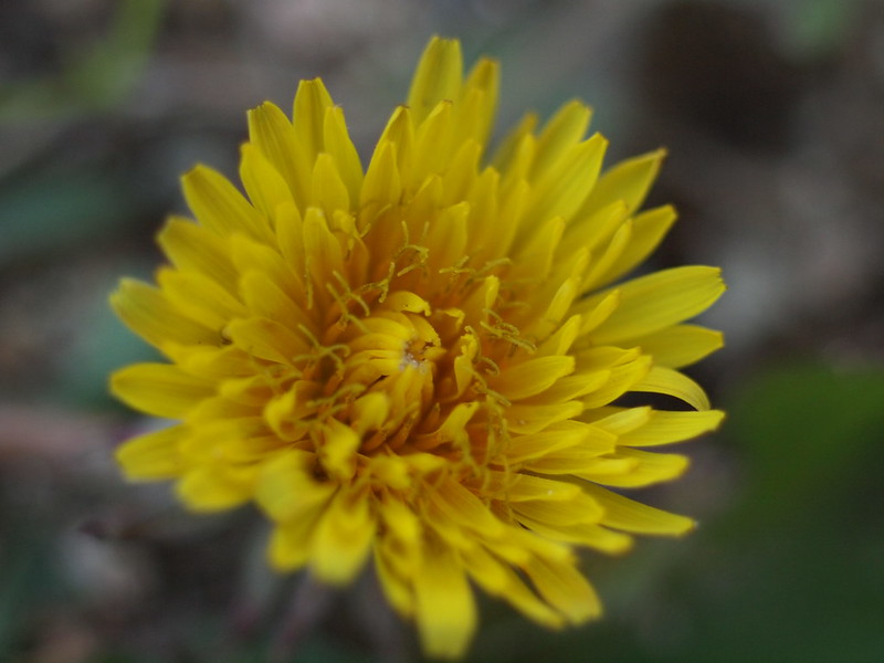 Dandelion in Winter