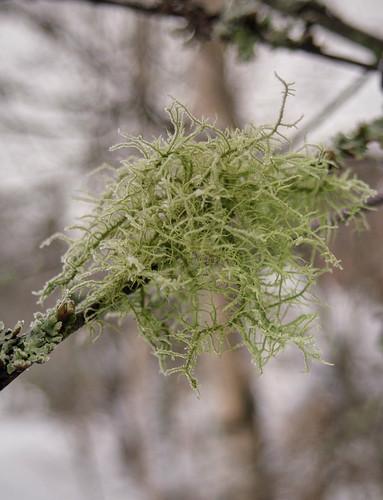 winter tree nature moss frost lichen usnea pvanhala