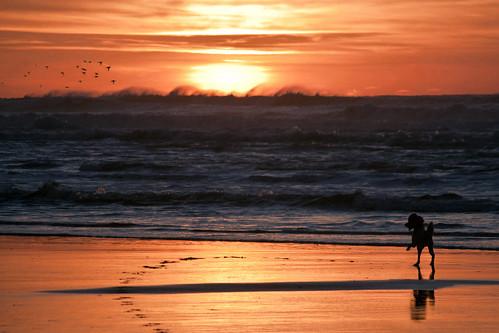 ocean sunset orange sun black beach water birds oregon sand waves tracks canine poodle pacificnorthwest briggs weyerhauser standardpoodle northbend partipoodle northspit odnra dogchal