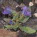 Echium cf. lancerottense by terraincognita96