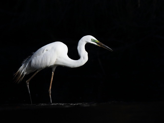 Great_Egret_Breeding_Plumage1C0A2870