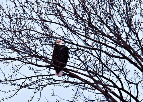 eagles 1