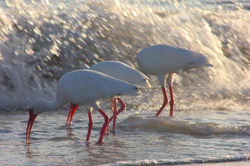 ocean sunset beach waves florida wildlife ibis sanibel bowmanbeach beachsanibelisland
